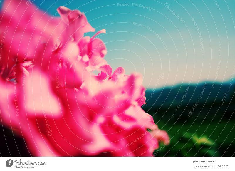 DISTANCE Pink Jump Close-up Sky Beautiful flowers landscape blured hills