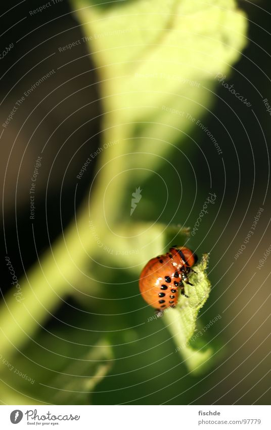 Nature Plant Garden Small Insect Balcony To feed Beetle Crawl Potatoes Plagues Pests Larva Colorado beetle