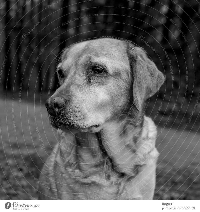 madame gloom Environment Nature Animal Pet Dog Labrador 1 Observe Natural Gray Black White Sadness Longing Black & white photo Exterior shot Copy Space top Day