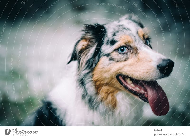 Dog Blue Beautiful White Animal Black Eyes Happy Brown Contentment Smiling Observe Soft Friendliness Ear Pelt