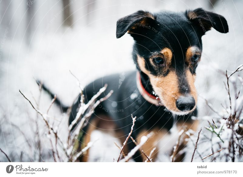 On the dog come Pt.4 Nature Snow Bushes Forest Pet Dog Animal face Pelt Snout Lop ears Ear Eyes Whisker 1 Observe Looking Stand Cuddly Brown Black White