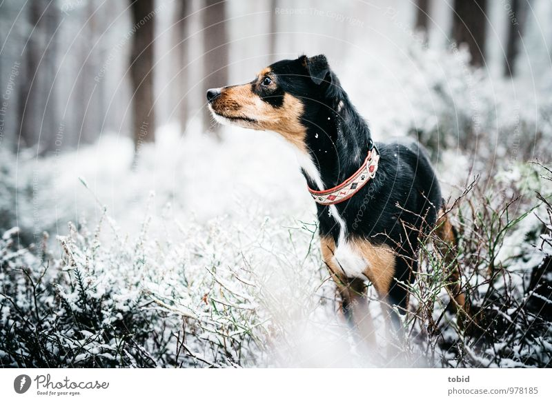 Dog Nature Plant Beautiful White Tree Animal Black Forest Snow Small Brown Idyll Bushes Observe Curiosity