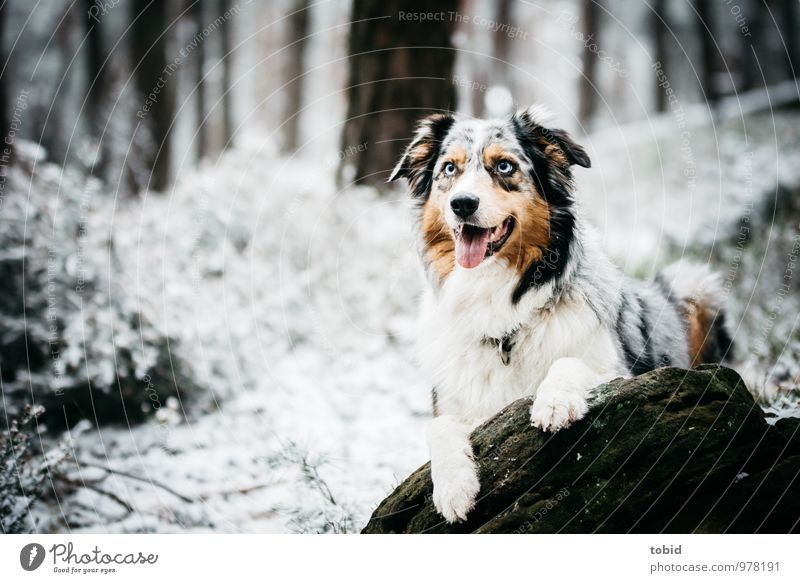 Australian Shepherd Nature Landscape Plant Winter Tree Grass Bushes Forest Rock Pet Dog Animal face Pelt Paw 1 Observe Lie Beautiful Cuddly Soft Winter forest