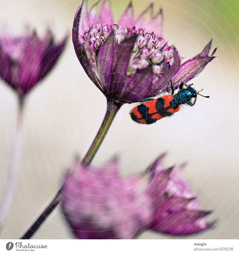 No bee - bee beetle on a blossom Environment Nature Plant Animal Beautiful weather Flower Bushes Blossom Foliage plant Exotic Calyx Blossoming Garden