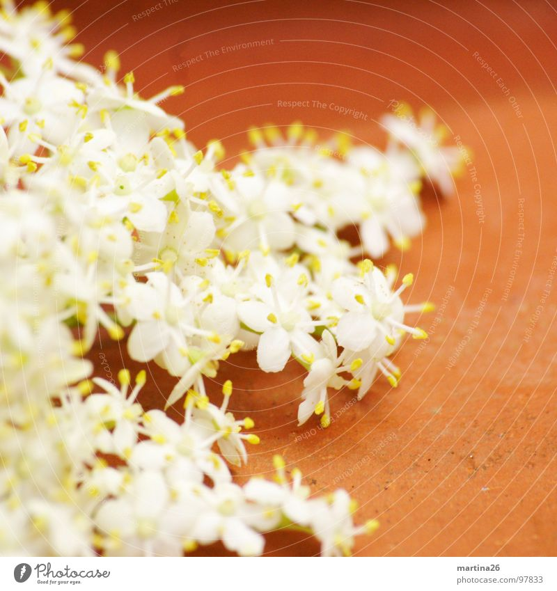 White Plant Flower Spring Blossom Multiple Decoration Many Delicate Fragrance Graceful Edible Elder Apiaceae Elderflower