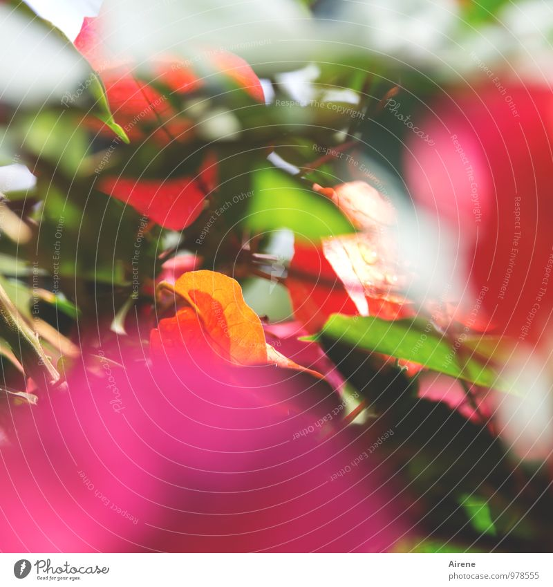 colour palette Plant Flower Leaf Blossom Exotic Bougainvillea Tendril Blossoming Happiness Kitsch Cliche Multicoloured Green Orange Pink Red