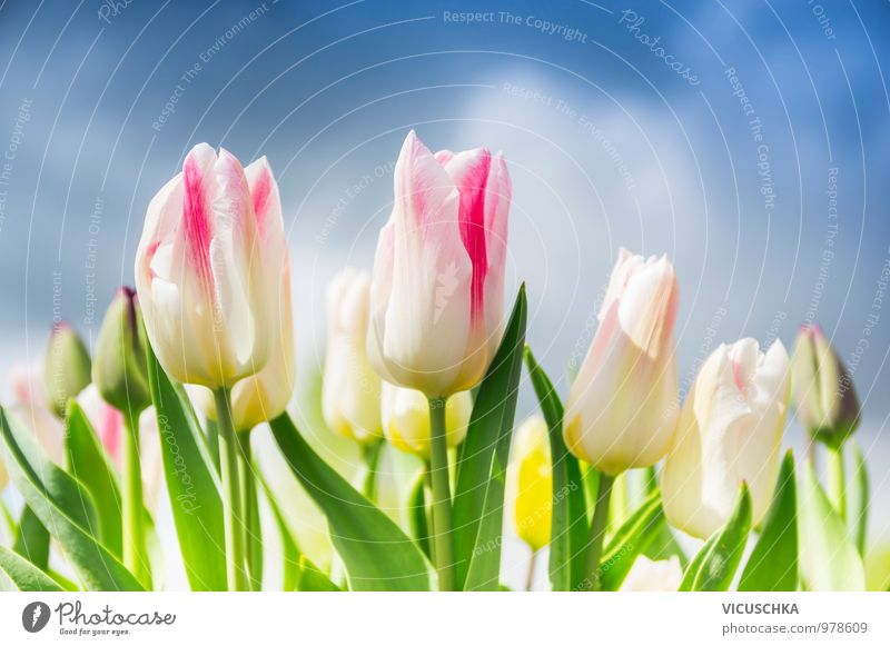 Pink white tulips on the cloudy sky Lifestyle Style Design Leisure and hobbies Summer Garden Nature Plant Sky Clouds Storm clouds Spring Beautiful weather