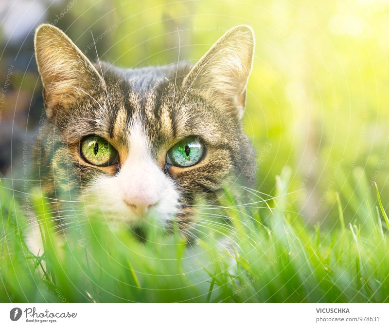 Cat with pink nose and different eyes Style Garden Nature Plant Animal Spring Summer Park Meadow Field Pet 1 Pink Eyes Difference Colour Eye colour Grass Lawn