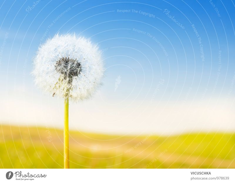 fluffy white dandelion on sunny landscape Design Summer Garden Nature Flower Park Meadow Jump Yellow Dandelion Symbols and metaphors Sky Field Sun