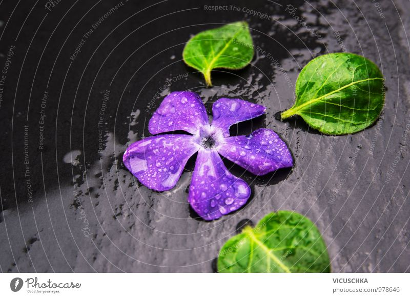 Evergreen blossom with water drops on wet slate Style Design Life Spa Leisure and hobbies Summer Garden Nature Plant Water Spring Autumn Rain Flower Leaf