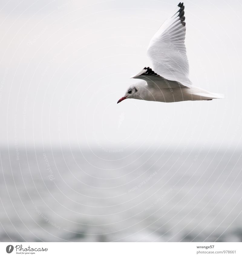 From right to left Nature Animal Sky Horizon Wild animal Bird Seagull 1 Flying Infinity Maritime Gray Ocean Baltic Sea Wing Colour photo Subdued colour