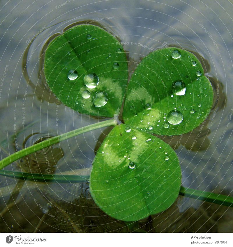 Clover in the lake Happy Drops of water Rain Dew Macro (Extreme close-up) Fresh Wet Damp Reflection Tension Near Nature Green Grass green Round Water