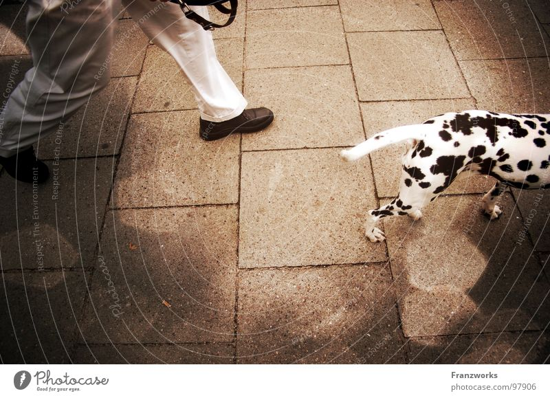 Dalma servant... Dalmatian Dog Animal Going Conduct In transit Spotted Tails Leisure and hobbies Street Lanes & trails Cobblestones Legs Walking