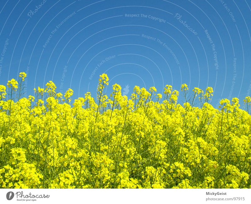 Nature Sky Blue Yellow Meadow Blossom Field Canola