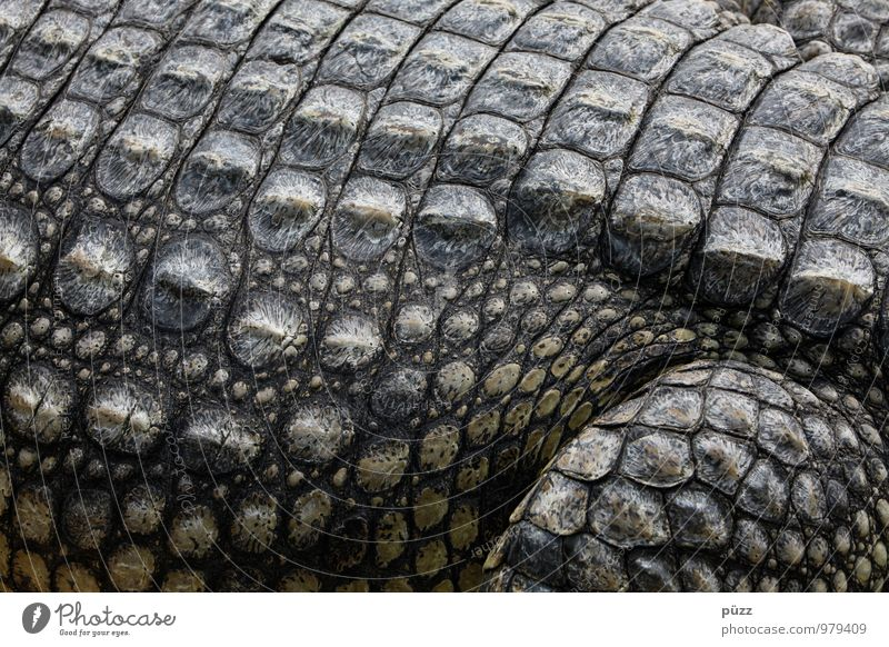 alligator Nature Animal Wild animal Scales Zoo Crocodile Alligator 1 Aggression Threat Exotic Strong Gray Green Fear Respect Voracious Colour photo