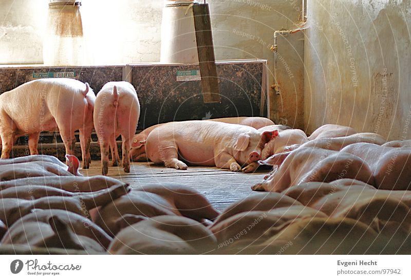 Animal Room Sleep Village Fatigue Hat Mammal Pet Swine Barn Farm animal War Battle