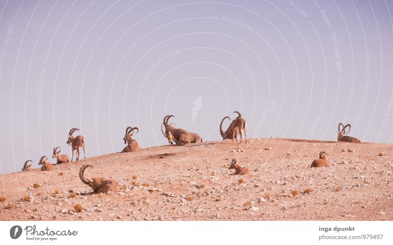 family reunions Environment Nature Landscape Animal Elements Earth Sand Climate change Beautiful weather Desert Wild animal Capricorn Mammal Even-toed ungulate