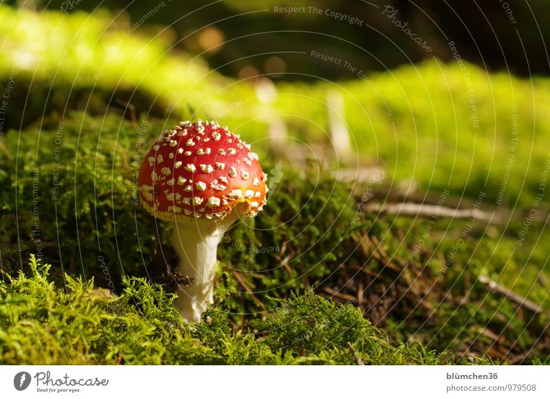 Nature Plant Beautiful Green White Red Forest Autumn Natural Happy Dangerous Threat Round Moss Mushroom Intoxicant