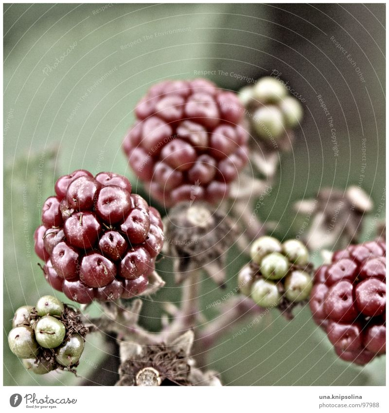 blackberry Fruit Sphere Green Red Immature Berries Colour photo Exterior shot Detail