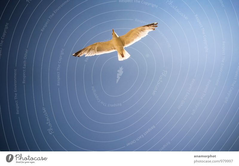 seagull in flight Nature Animal Sky Cloudless sky Sunlight Summer Beautiful weather Wind Ocean Staint-Malo Bird Wing 1 Blue Colour photo Exterior shot