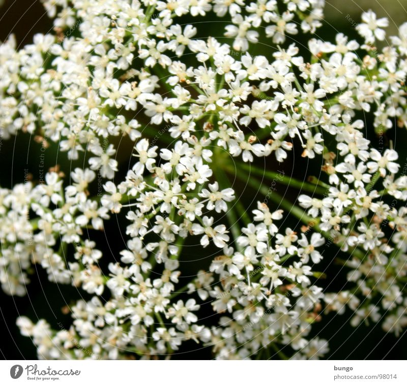sea of blossoms Blossom White Flower Beautiful Versatile Multiple Apiaceae Umbellifer Bouquet Plant Uniqueness Mostly Many uniform Equal