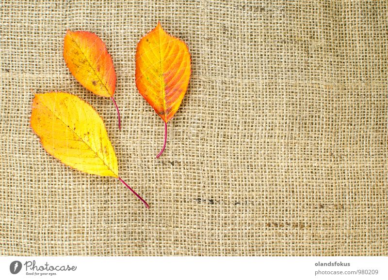 Autumn colored leaves at burlap Nature Plant Colour Tree Red Leaf Yellow Brown Design Decoration Rough Agricultural crop October Canvas Cherry tree