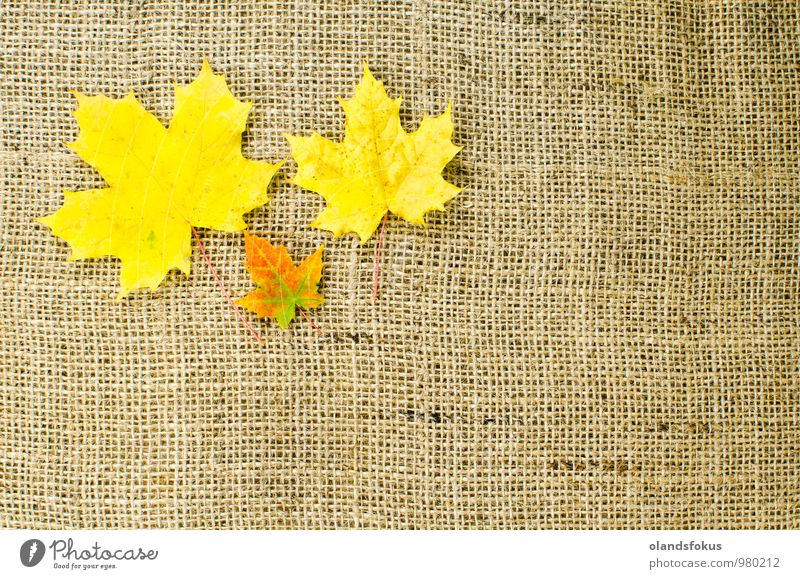 Colorful maple leaves Design Beautiful Nature Plant Autumn Tree Leaf Brown Yellow Red Colour backdrop background bunch burlap Canvas colorful decor fabric fall
