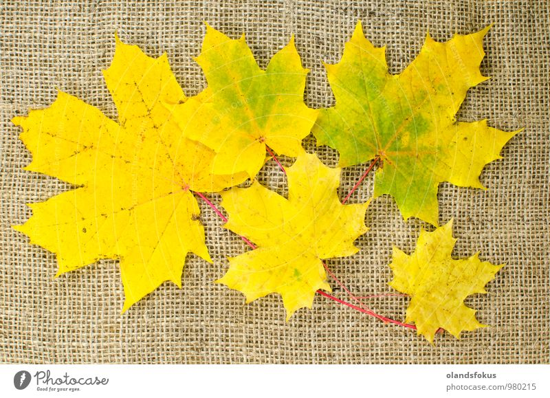 Fall colored maple leaves Design Beautiful Nature Plant Autumn Tree Leaf Brown Yellow Red Colour backdrop background bunch burlap Canvas colorful decor fabric