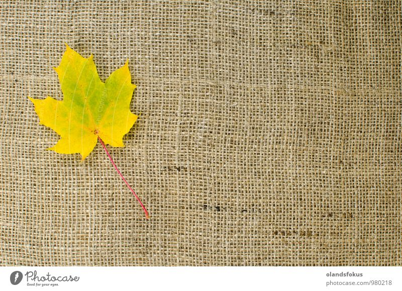 Single maple leaf Nature Plant Beautiful Colour Tree Red Leaf Yellow Autumn Brown Design Seasons Rough October Canvas