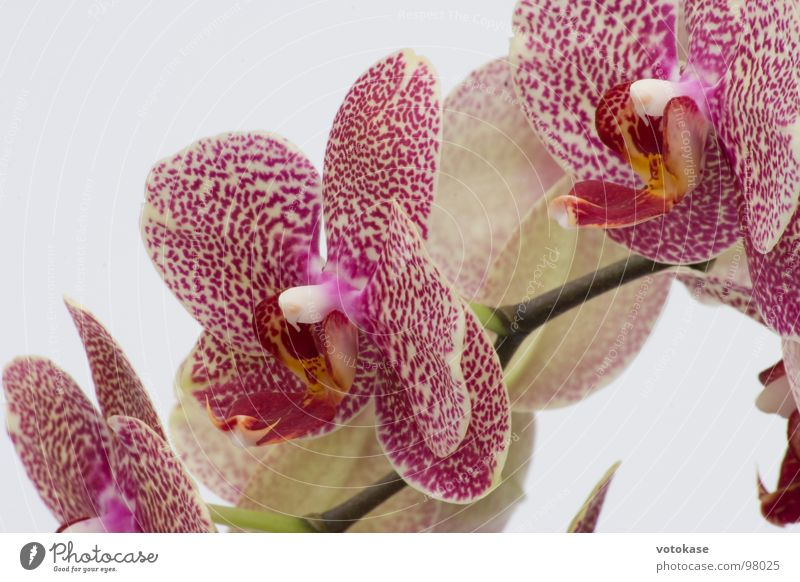 orchid Orchid Blossom Macro (Extreme close-up) Close-up Beautiful purple orchid red orchid