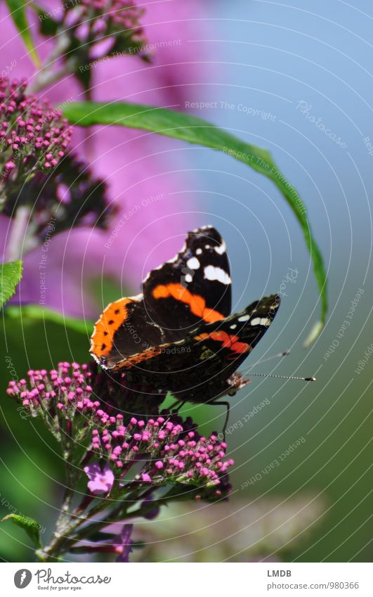 Metterschling on summer songs Nature Plant Animal Bushes Blossom Butterfly Wing 1 Green Orange Pink Black Small tortoiseshell Summer Buddleja Insect Nectar