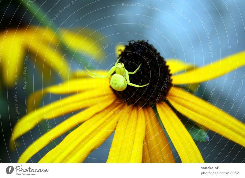 Flower Blue Summer Yellow Blossom Legs Brown Spider Camouflage Adjustment Spider legs