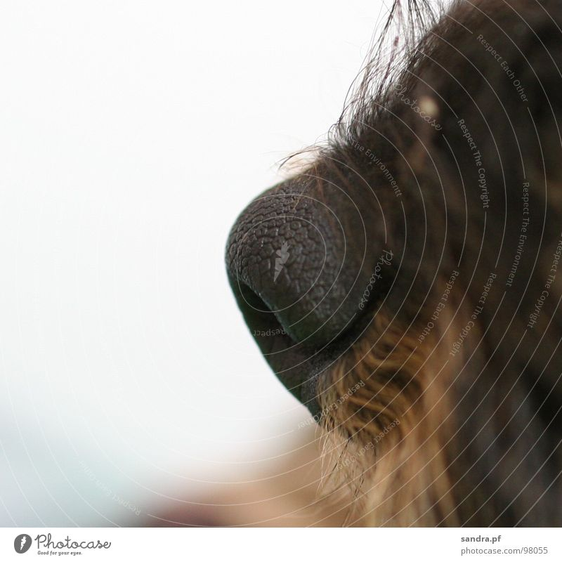 *sniff* Dog Facial hair Black Brown Breathe Dachshund Beige Damp Wet Nostril Air White Macro (Extreme close-up) Close-up Mammal Services Nose