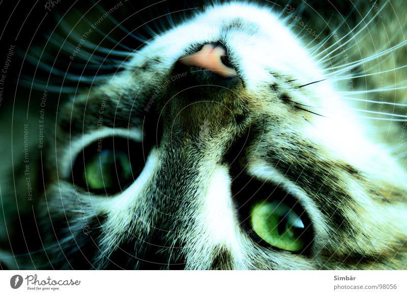 Tripod stares Cat Animal Land-based carnivore Pelt Green Whisker Moustache hair Looking Three-legged Inverted Mammal Concentrate Eyes look look Lie pussy Style