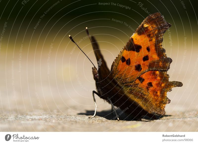 butterfly Dresden Butterfly Animal Insect Symmetry Feeler Brown Background picture Comma Noble butterfly Macro (Extreme close-up) Close-up Autumn depth blur