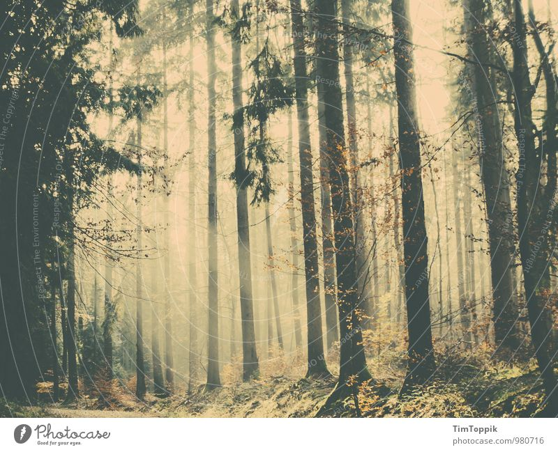 A forest fairy tale Forest Clearing Forest walk Mysterious Tree Tree trunk Jinxed Fairy tale Fantastic Back-light Enchanted forest Taunus To go for a walk