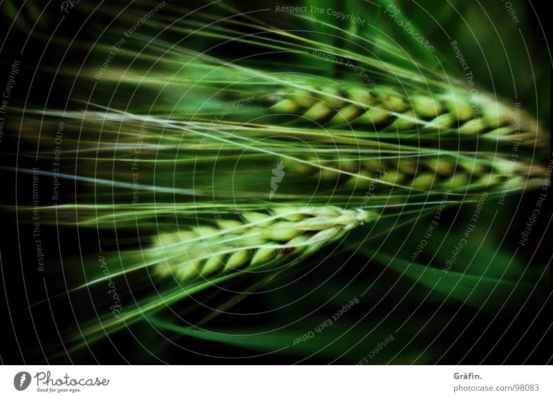 precocious grain Ear of corn Rye Wheat Barley Field Crops Grain Grain alcohol Cross processing Green Plant Fisheye Blur Agriculture Blade of grass Heavy