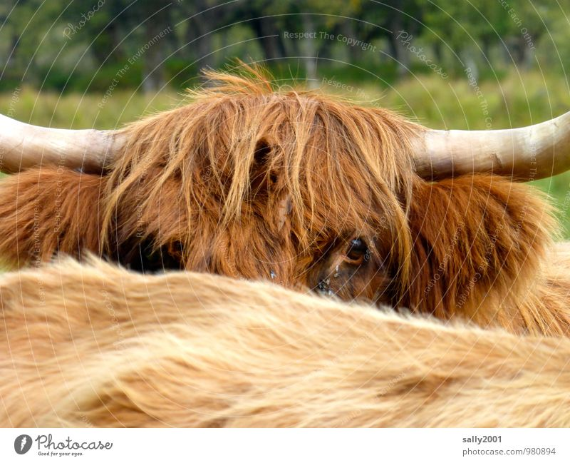 I see you... Animal Farm animal Cow Highland cattle 2 Observe Dirty Friendliness Curiosity Wild Brown Cool (slang) Peaceful Watchfulness Interest Skeptical