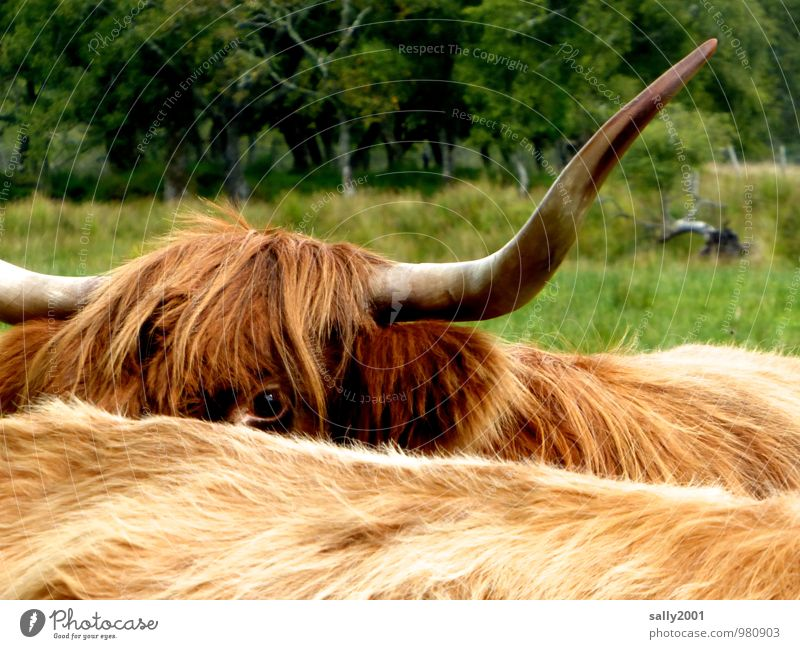 Animal Eyes Meadow Hair and hairstyles Brown Large Observe Curiosity Pelt Hide Cow Antlers Bangs Scotland Timidity Farm animal