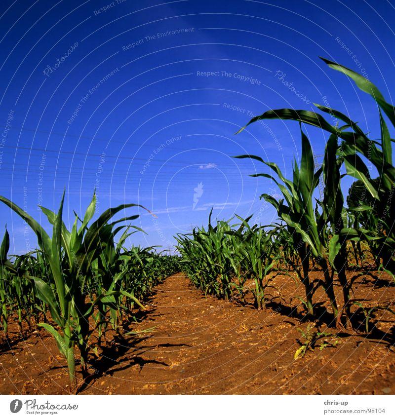 Sky Nature Blue Green Plant Far-off places Nutrition Food Earth Field Arrangement Agriculture Vegetable Row Harvest Grain