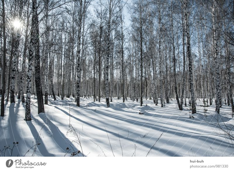 birches Beautiful weather Snow Meadow Forest Esthetic Cold Birch wood Winter Snowscape Snowfall Sunbeam Shadow play Idyll Calm Stagnating Nature Environment