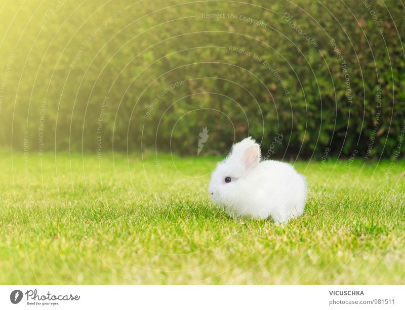 small white bunny on lawn in the garden Style Leisure and hobbies Summer Baby Nature Plant Animal Spring Beautiful weather Garden Park Meadow Pet Farm animal 1