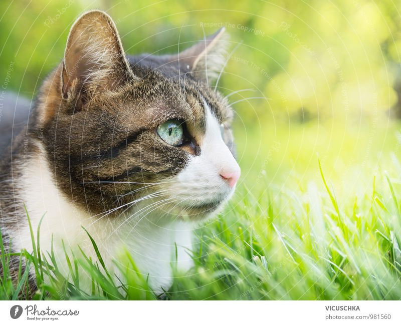 Grey cat with white face in summer garden Summer Garden Nature Plant Animal Spring Beautiful weather Park Meadow Field Pet Cat 1 Soft Sunlight Grass Lawn Free