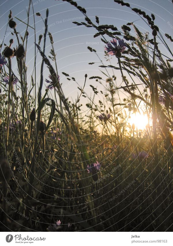 Nature Plant Sun Summer Flower Meadow Grass Field End Flower meadow Cornflower