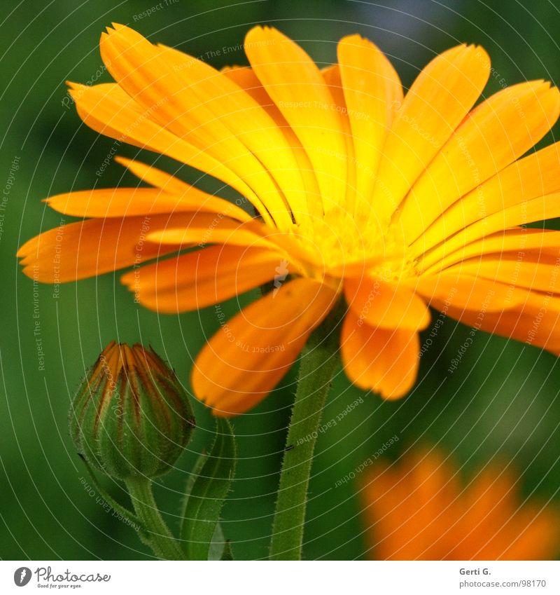 Green Plant Flower Colour Yellow Blossom Orange Crazy Cosmetics Cream Daisy Family Medicinal plant Marigold Defense against snails