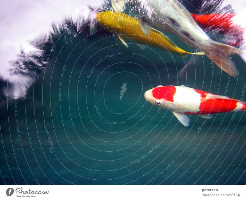 Floating investment 2 Koi Pond Yellow Multicoloured Red Japan Fish Water Carp Nishikigoi Point Swimming & Bathing
