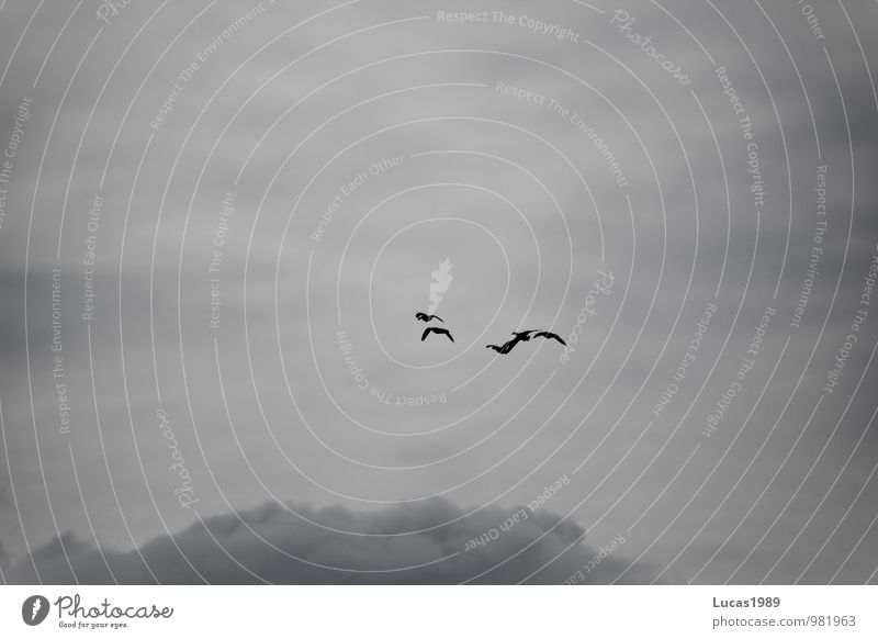 Free through the clouds Nature Clouds Animal Wild animal Bird Flock of birds Flight of the birds Wild goose Duck Wild bird Group of animals Flying
