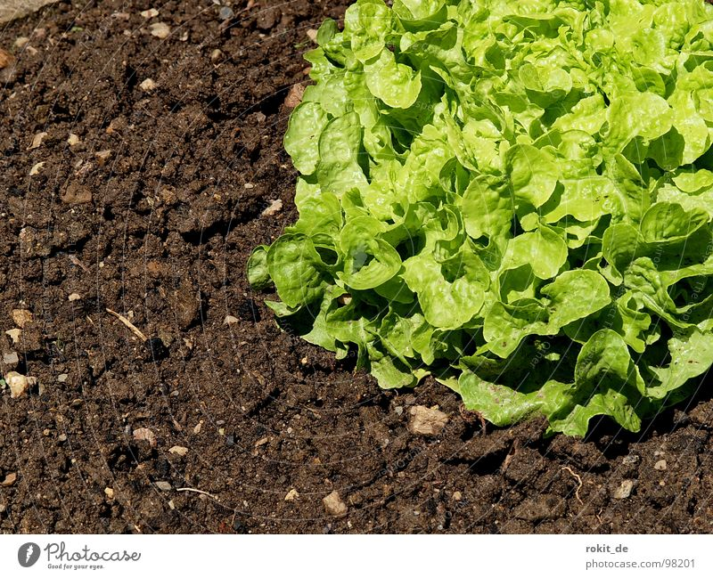 Eat more salad... Green Healthy Vitamin Snail Gain favor Field Vegetable Lettuce Floor covering Earth reach green salad Garden Nutrition Agriculture