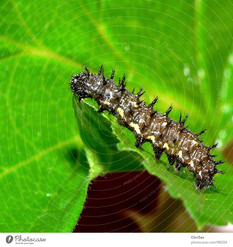 Caterpillar of the Landkärtchen_Araschnia_levana Map butterfly Black Green Thorny Pierce Butterfly Summer Spring Crawl Insect Animal Northern Forest