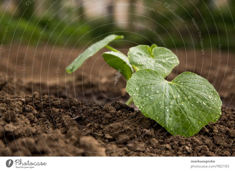 urban gardening Food Vegetable Lettuce Salad Nutrition Lifestyle Healthy Healthy Eating Fitness Well-being Contentment Leisure and hobbies Living or residing